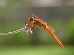 Good Morning! (John Petrick) Tags: macro dragonfly intheneighborhood reddragonfly dsch50 thelakeslasvegas dragonflyinthemorning lasvegasdragonfly