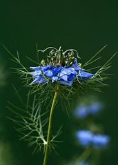 Nigella (Mike Legend) Tags: blue green horns curly curl ranunculaceae nigella feathery ferny