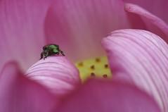 Scarabs and lotus (Nam2@7676) Tags: flower japan dof pentax lotus bokeh   tamron 90mm nam2 silkypix   kmount 7676  tamronspaf90mmf28dimacro k20d justpentax tamron90mm272e yasunarinakamura  nam27676