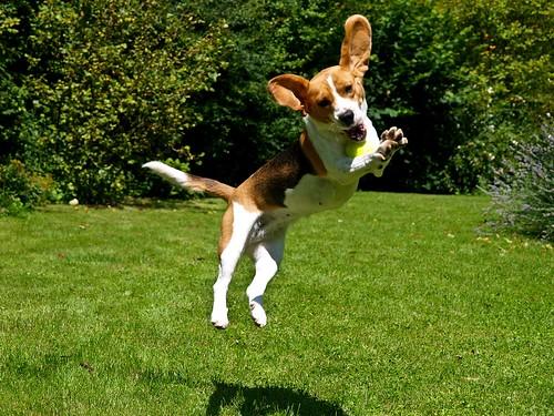 Flying Beagle Beagle Action