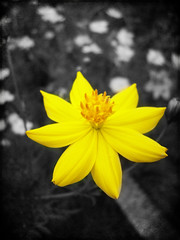 A Salute to an Extraordinary Woman (Gilbert Rondilla) Tags: camera flowers plants house plant flower color texture nature up yellow vertical closeup garden point polaroid photo shoot close philippines explore retreat gilbert filipino duotone tribute digicam tagaytay notmycamera cosmos own pinoy selective borrowedcamera selectivecolor oss pns novitiate coryaquino cosmossulphureus corazonaquino tagaytaycity rondilla cosmosflower i733 notmyowncamera polaroidi733 cosmosplant gilbertrondilla gilbertrondillaphotography luisianian polaroid7mpdigitalcamera cosmosflowerpictures sistersoblatesoftheholyspirit sistersoblates