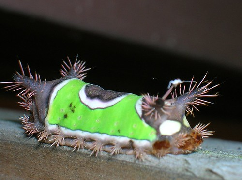 Saddleback moth photo