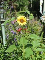 pic18 (pippijewelry) Tags: flower garden echinacea clematis lavender poppy sunflower daylily daisy pippi yarrow crocosmia delphinium thyme