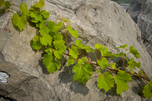 a fine vine she be
