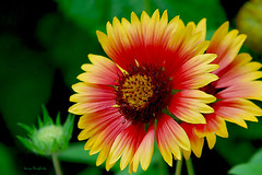 Gaillardia/Indian Blanket Flower or Blanket Flower (Larry Daugherty) Tags: plants flower nikon louisiana neworleans blossoms d200 blooms 1001nights botanicalgarden mywinners colorphotoaward platinumheartaward vosplusbellesphotos saariysqualitypictures