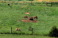 Blue Ridge Camels ( D L Ennis) Tags: animals virginia farm camel emu backroads camels blueridgemountains countryroad bide rockbridgecounty dlennis blueridgecamels