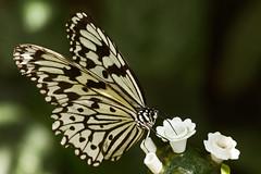 Happy New Year, Miss Sophie... (Kirsten M Lentoft) Tags: butterfly copenhagen denmark zoo searchthebest naturesfinest bej happybirthdaysophie thesuperbmasterpiece kirstenmlentoft newgoldenseal