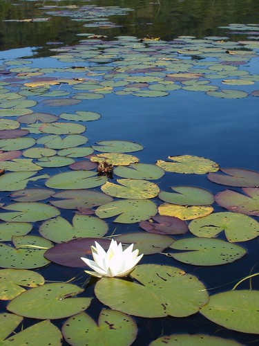 Water lily, West Lake, Adirondacks, New York.