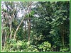 A section of the tropical rainforest in Rimba Ilmu Botanic Garden, the Forest of Knowledge