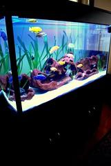 malawi tank 1 (Appleskatephoto) Tags: fish tank malawi cichlids ciclidos mbunas