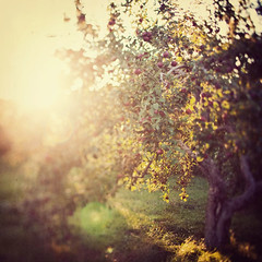 Comfort me with apples (IrenaS) Tags: autumn sun blur tree fall glow bokeh orchard lensflare flare apples illuminate appleorchard shuttersisters onewordproject