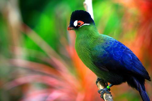 フリー画像| 動物写真| 鳥類| オウカンエボシドリ|        フリー素材|