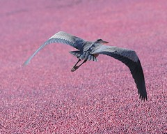 Great Blue Heron, Cranberry Harvest White's Bo...