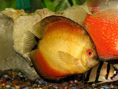 """Mango"" Discus (dog.happy.art) Tags: orange pet fish gold aquarium tank fishtank round tropicalfish discus freshwater petportraits animalphotography redeyed fishtankpictures goldsealofquality naturescreations"