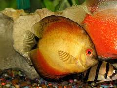 """Mango"" Discus (dog.happy.art) Tags: orange pet fish gold aquarium tank fishtank round tropicalfish discus freshwater petportraits animalphotography redeyed fishtankpictures goldsealofquality naturescreations"