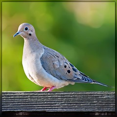 Birds in our garden: Mourning Dove (Images by John 'K') Tags: nature birds garden dove explore mourningdove outpost johnk explored flickrsbest d5000 natureoutpost johnkrzesinski randomok