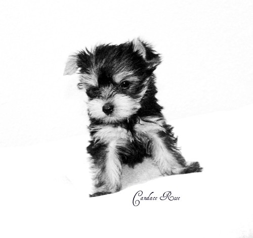 Black and white yorkie