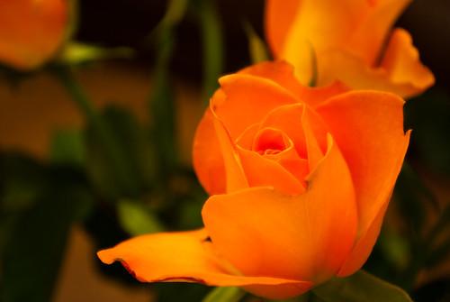 220110_ a rose (022/365)