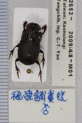 2652() (esrimed-beetle) Tags: scarabaeidae  copriscoprisfukiensis