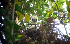 可愛的鳳頭蒼鷹雛鳥成了高雄都會公園的住民。圖片來源:營建署高管站。