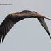 Argaty Red Kite4