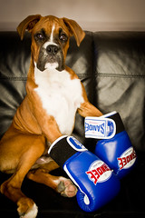 The Boxer (Danny Beattie) Tags: puppy george gloves sandee boxer sonya550