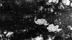 Static (Seb.Seabass) Tags: hawaii university fish pond black white lily honolulu blackandwhite contrast manoa