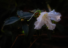 Light in the Dark (MrBlueSky*) Tags: flower lilly petal plant horticulture garden nature kewgardens london ngc aficionados pentaxflickraward pentax pentaxart pentaxk1 pentaxlife pentaxawards royalbotanicgardens doublefantasy