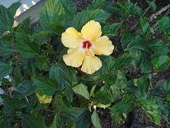 Hibiscus in bloom, May 20, 2009