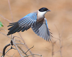 Pega-azul / Azure-winged magpie (Antnio Guerra) Tags: nature birds fauna wildlife natureza birdsinportugal avesemportugal aves birdwatching naturesfinest vidaselvagem azurewingedmagpie cyanopicacyana supershot pegaazul specanimal ultimateshot avianexcellence theperfectphotographer vosplusbellesphotos dragondaggerphoto capturethefinest