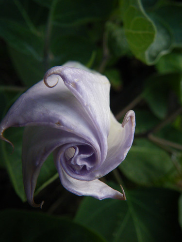 Lilac Tipped Datura