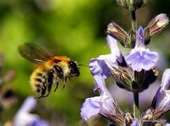 Bee and Sage (Martin Long) Tags: macro closeup buzz fly wing sage bee honey abeille voler sauge martinlong nitram