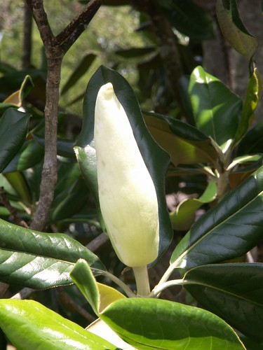 Magnolia Blossom Unopened
