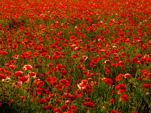 evening poppy field