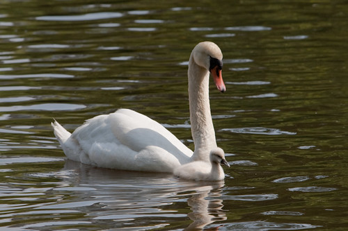 Mute Swans Mother and Baby