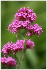 (Wind Home) Tags: pink flowers wild oregon soft pretty dof canon50d platinumheartaward