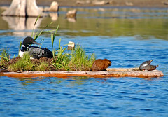 Loon and friends at Brown Bridge Pond (SBodjack) Tags: water pond muskrat spingcontestgtcd09 springcontestgtcd09 brownbridgepondloon paintedturtlesnesting