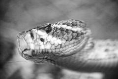 Don't Tease the Rattler, Plate 2 (Thomas Hawk) Tags: sanfrancisco california goldengatepark blackandwhite bw usa animal blackwhite unitedstates snake unitedstatesofamerica rattlesnake californiaacademyofsciences californiaacademyofscience natureshand