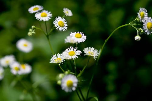 Small blossoms