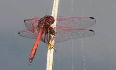 Dragonfly with Spiderweb (Ian van der Walt) Tags: potofgold