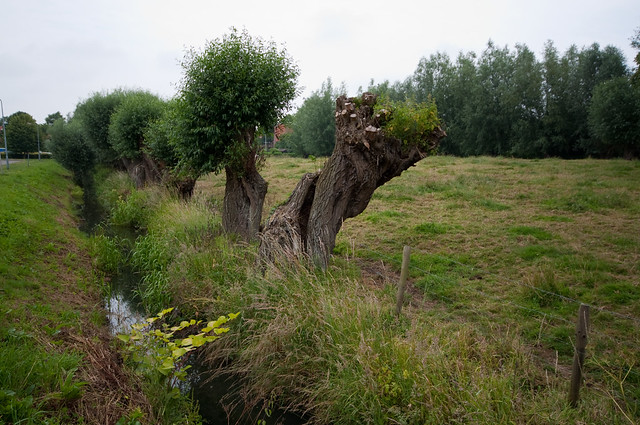 Photo: Salix alba