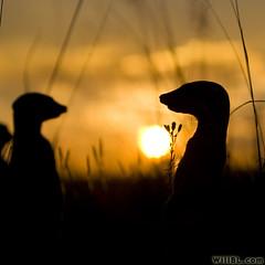 Silhouetted Meerkats (Will Burrard-Lucas   Wildlife) Tags: africa sunset grass silhouette botswana kalahari meerkats