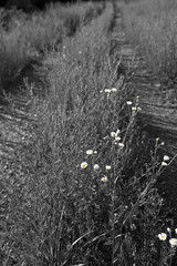 A Delicate Path (Just Plain Dan) Tags: blackandwhite bw flower nature canon landscape massachusetts canon5d delaneyproject stowema