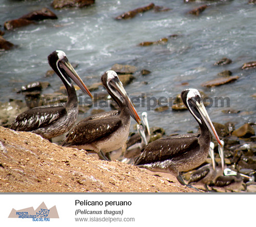 Pelícano peruano (Pelicanus thagus)