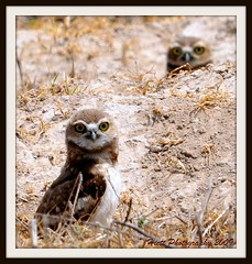Life Underground... (ragtops2000 (away for awhile)) Tags: wild bigeyes nikon nebraska colorful farm small country ground dirt owl curious picnik panhandle stubble burrowingowl d300 burrow sigma150500
