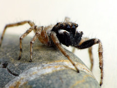 Araa / Spider (Josefe aka Hipnosapo) Tags: macro spider araa dcr250 cruzadas fz18
