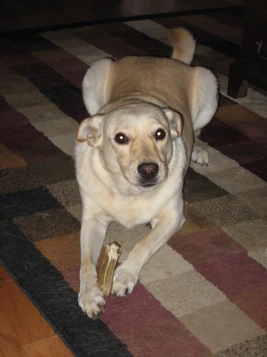 Riley is loving his half-chewed bone!