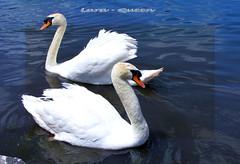 Cygne avec son pouse / Swan with his lover (Lara-queen) Tags: voyage summer lake france bird nature water animal canon ilovenature swan eau sweet lac t 2009 oiseau cygne naturesfinest faunaandflora impressedbeauty irr