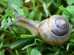 "Slogging Through The ""Forest"" (donsutherland1) Tags: summer plants ny newyork nature grass snail august clover mamaroneck gardensnail mywinners anawesomeshot theunforgettablepictures naturewatcher"