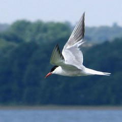 Common Tern (tina negus) Tags: bird flight rutland tern rutlandwater commontern